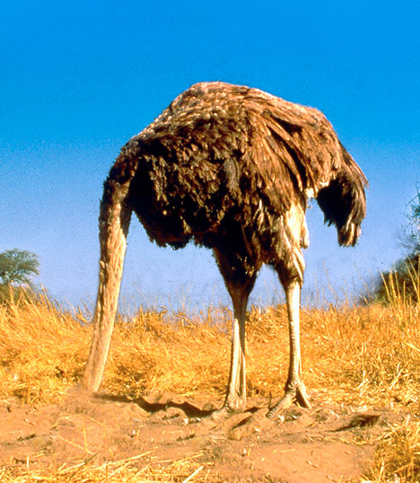 Image of an ostrich with its head in the sand