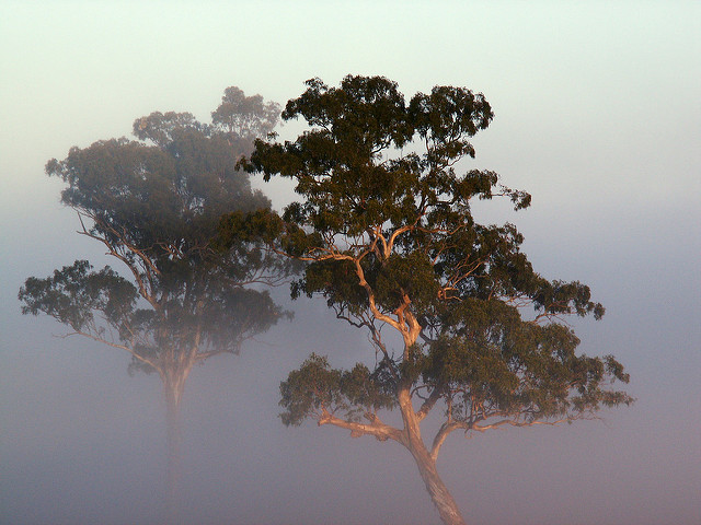 Image of trees in early morning fog
