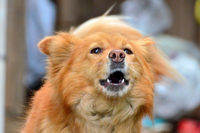 Image of a barking dog