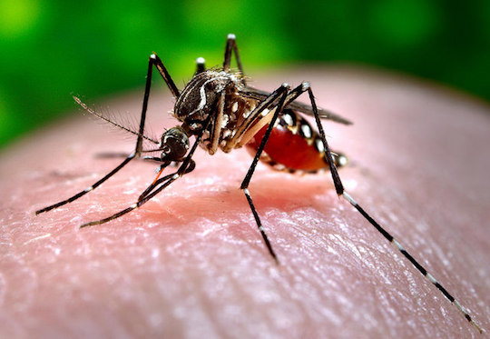 Closeup of a mosquito on human skin