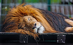 Image of a lion napping