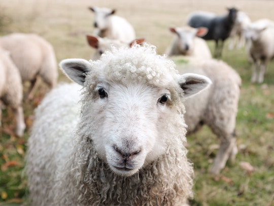 Image of a heard of sheep