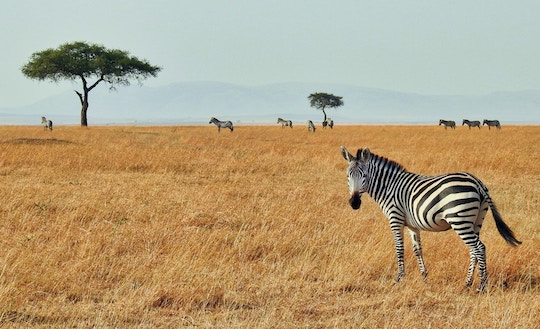 Image of a zebra on the African tundra