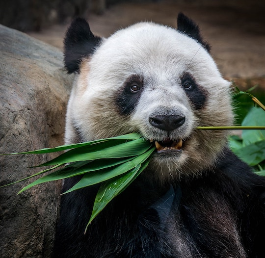 image of a panda eating bamboo leaves