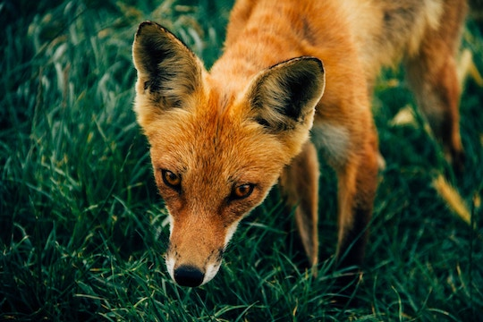Image of a fox